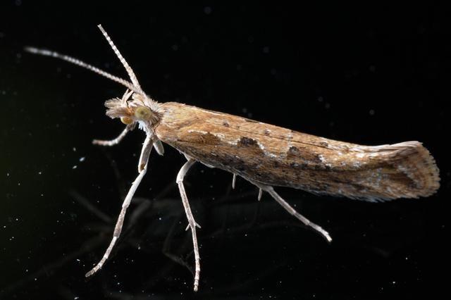 Diamond-back Moth (Plutella xylostella)