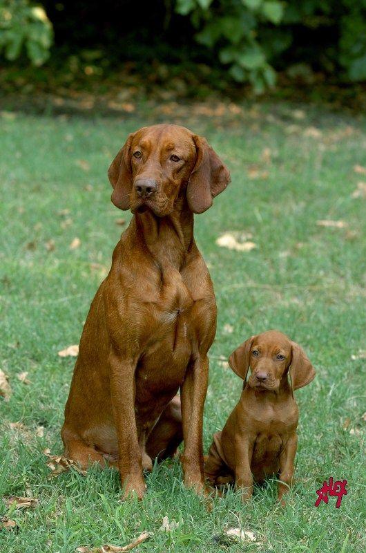 Magyar vizsla= Braque Hongrois, hungarian dog breed