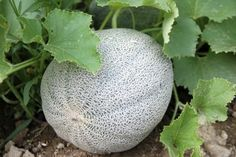 The Right Time To Pick A Cantaloupe: How And When To Pick Cantaloupe -  Knowing the right to pick a cantaloupe can mean the difference between a good crop and a bad one. Follow the tips in this article to harvest the best cantaloupe fruits possible.
