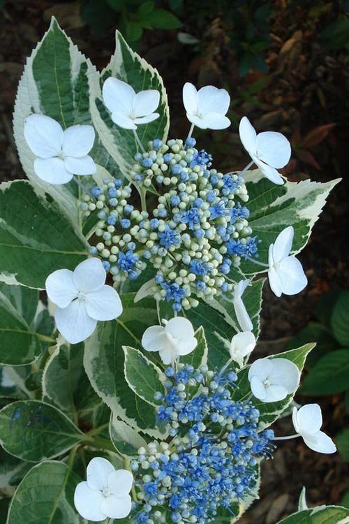 Buy Mariesii Variegated Lacecap Hydrangea For Sale Online From Wilson Bros Gardens