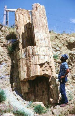 Petrified sequoia tree in Wasatch FM near Buffalo, WY (photo from Wayne Sutherland).