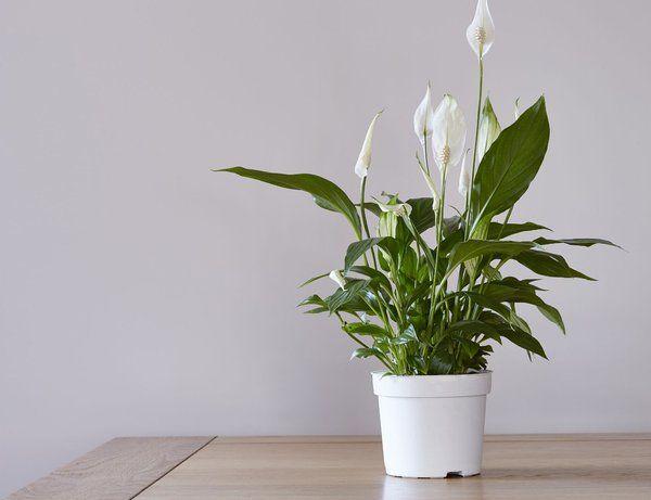 The Top Air Purifying Plants For Your Home Issuu Tanaman Hias Dalam Pot Tanaman Tanaman Dalam Ruangan