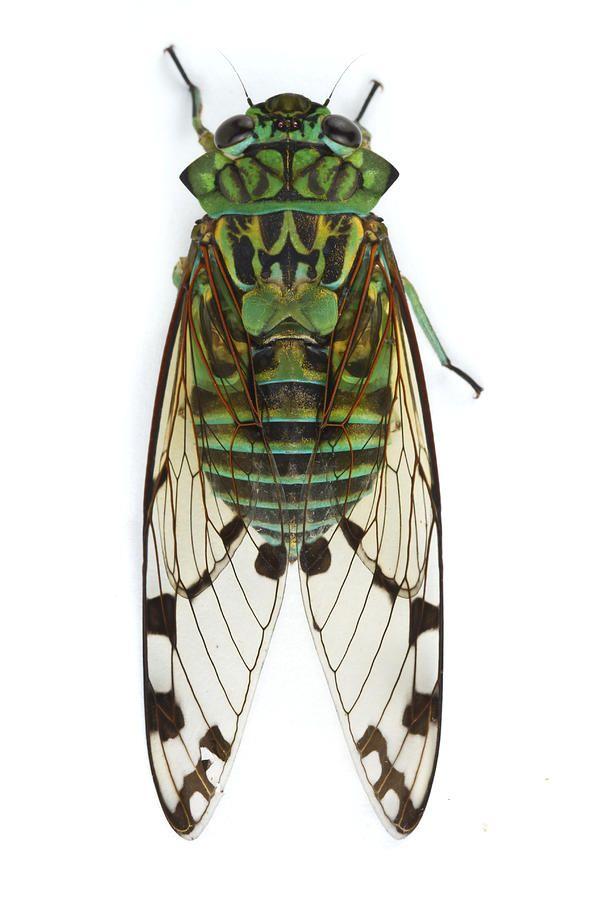 Piotr Naskrecki - Emerald Cicada Barbilla Np Costa Rica Photograph