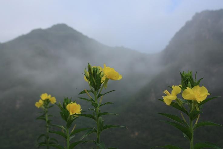 동강 거북이 마을 아침 달맞이꽃