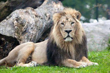 1 Samuel 17:34-36  the type of lion that David killed Atlas lion endangered species