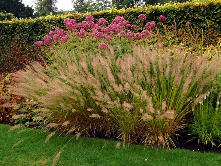 Calamagrostis brachytricha google search ornamental for Ornamental grass border plants