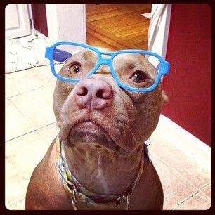 A pittie needs his glasses (nerd alert!). | The 65 Cutest Things That Happened On Instagram In 2013