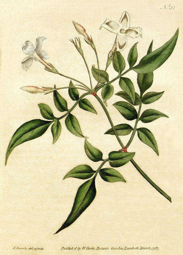 Jasminum officinale - Wikipedia, la enciclopedia libre
