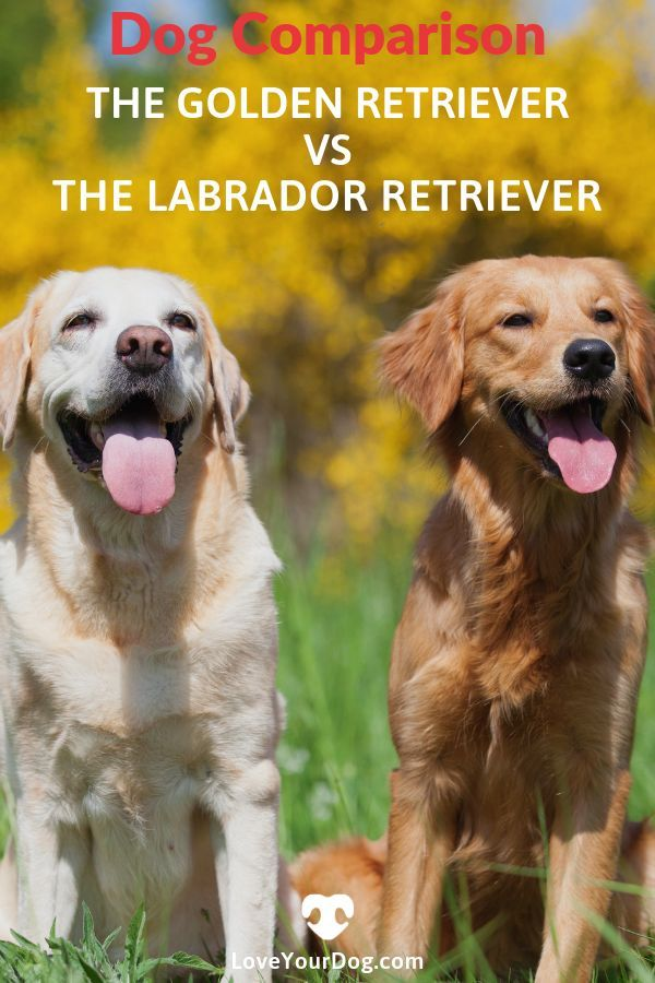 Golden Retriever Vs Labrador Retriever What S The Difference
