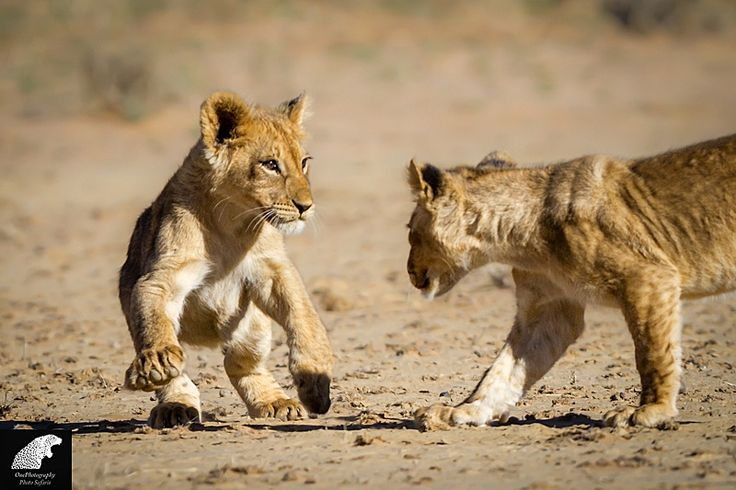 Cubs by Onephotography Photographic Safaris on 500px