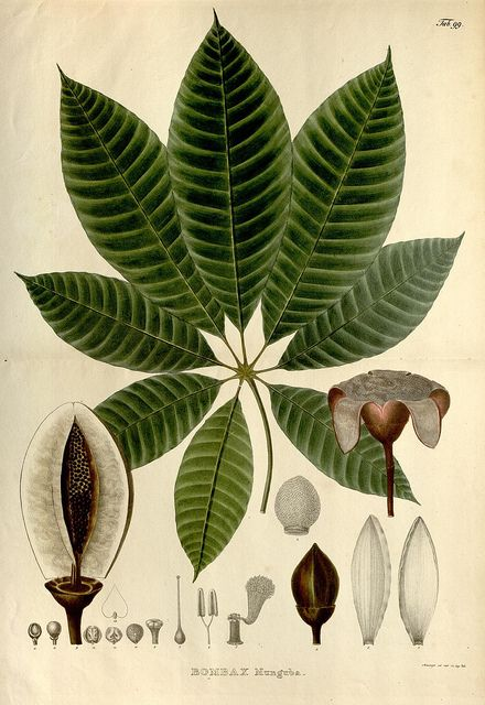 Bombax by BioDivLibrary on Flickr.        Nova genera et species plantarum.      Monachii [Munich] :Impensis Auctoris,1824-1829 [i.e. 1824-32]..      biodiversitylibrary.org/page/742027