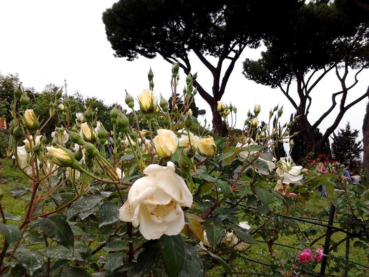 Il Roseto Comunale di Roma  Aperto fino al 17 maggio e dal 19 maggio al 16 giugno 2013 Ingresso libero :-)