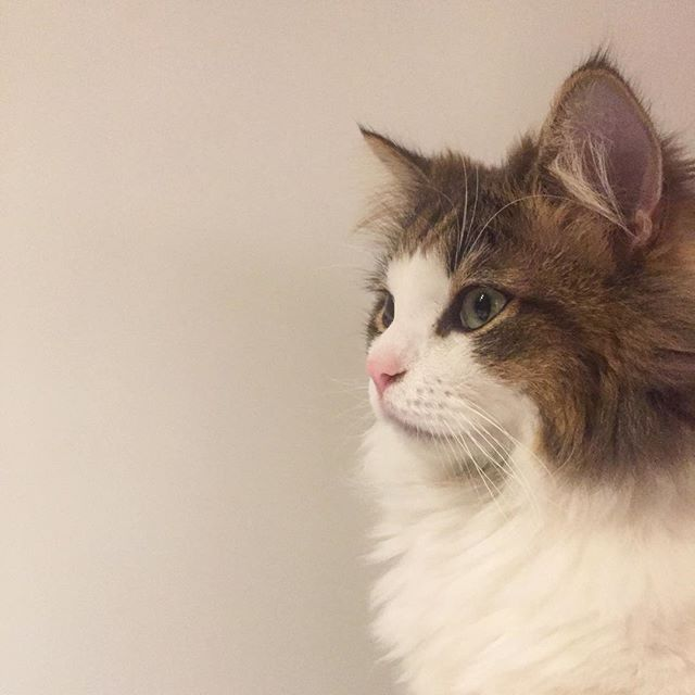 #cat#pet#instagram#instacat#instaphoto#photo#노르웨이숲#고양이#냥이#펫#猫#ねこ#펫스타그램#냥스타그램#ペット#愛猫#写真