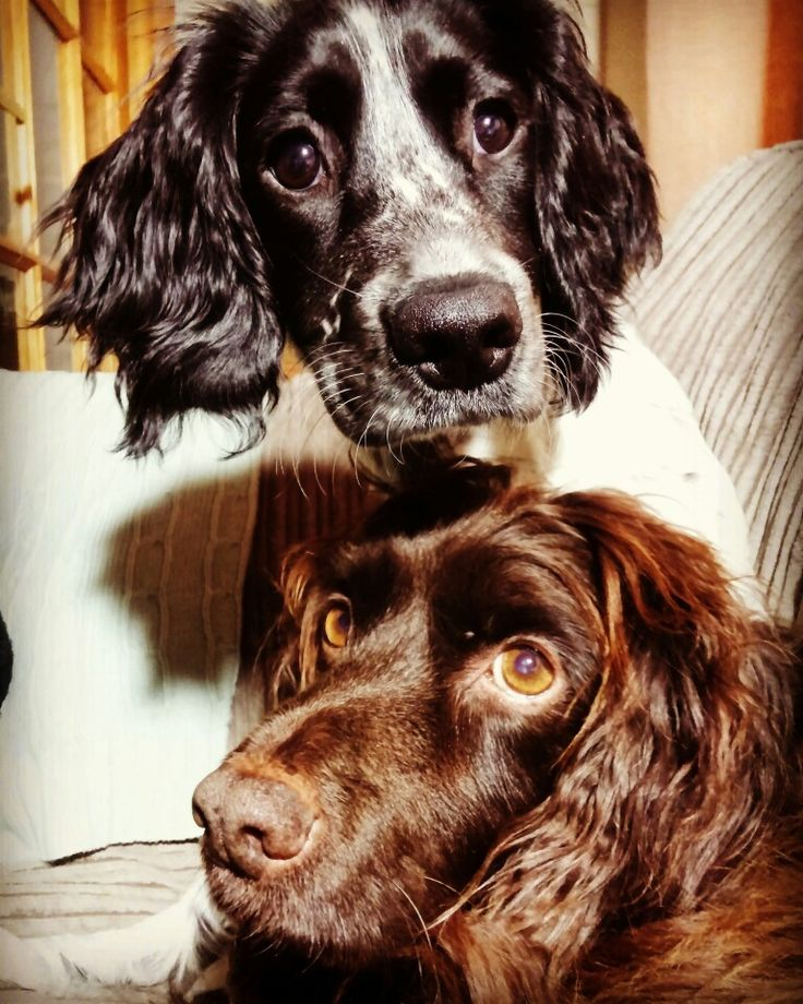 Bobby and Brenna 💕 Working cocker spaniels