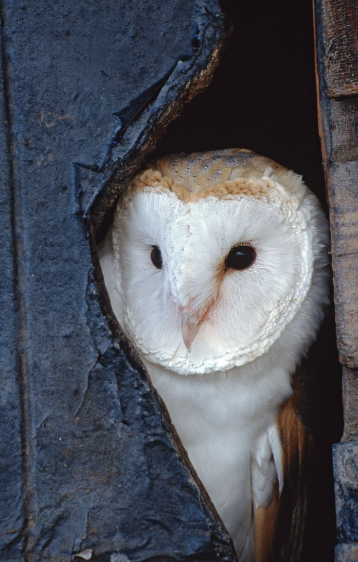 We had 4 baby Great White Barn Owls in our chimney once upon a time. Moved them to the barn hay loft eventually. Then later on we got to watch them learn to hunt. Amasing animals!!