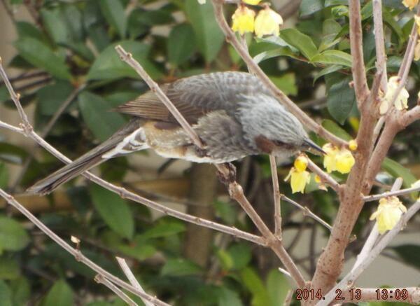 @irityan71: @Amy Anderton ヒヨドリは、毎日やってきて蝋梅の花を食べています。最近は、カメラを持って近づいても食べるのに夢中で逃げないですね。