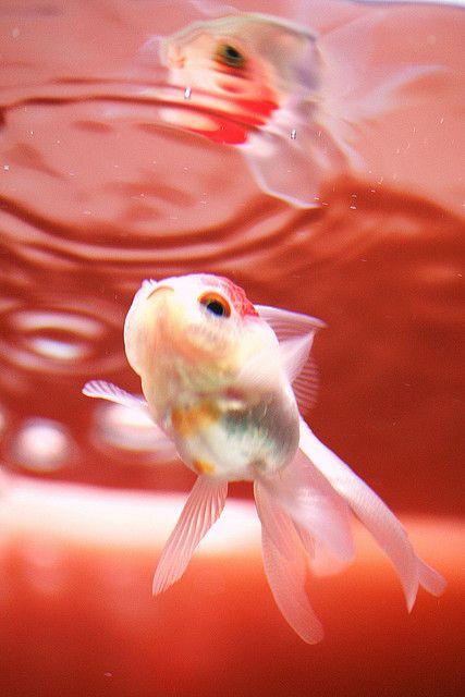 221 best images about goldfish koi on pinterest pisces for Koi und goldfisch