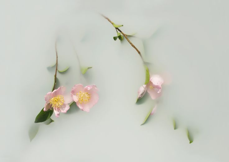 'Japonica' Limited Edition Print by Artist, Catherine Jensen