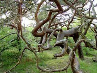 Troldeskoven, Tisvilde, Denmark. Strange trees formed by the wind