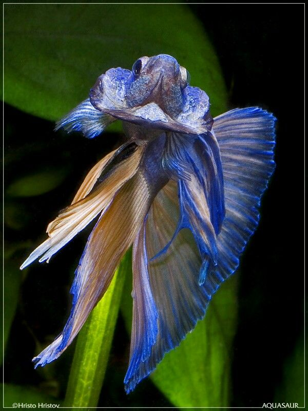 201 Best Fighter Fish Images On Pinterest Beta Fish