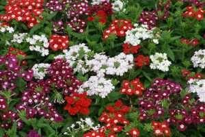 La Verbena, por ser relajante, permite Reducir el Estrés, Migrañas, Combatir el Insomnio y resolver otras enfermedades.