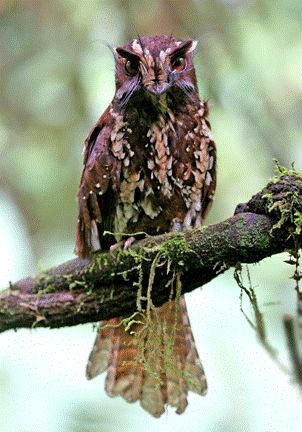 Owlet-nightjars are small nocturnal birds related to the nightjars and frogmouths. Most are native to New Guinea, but some species extend to Australia, the Moluccas, and New Caledonia.