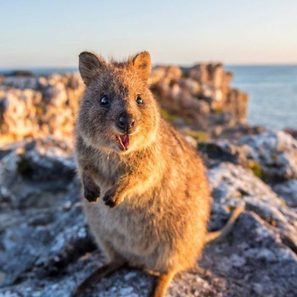 Best Adorable Happy Quokkas Images On Pinterest Happy - 15 photos that prove quokkas are the happiest animals in the world