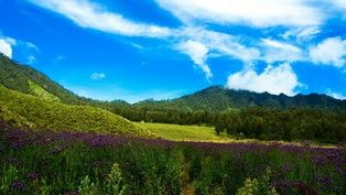 Oro-oro ombo is a lavender field located at Semeru Mountain - Indonesia.