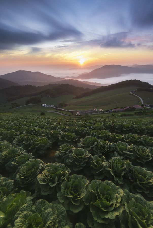 ~~Sunrise in Anbandeok | vertorama of a cabbage farm | by jae youn Ryu~~