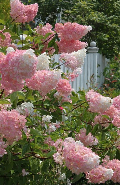 Gardening is all about cultivating the senses -- the palatte of colors, the scent of the flowers, planting for songbirds. It's the closest I can come to creating peace and solitude. -- Bunny Williams (Cotton Candy French Lilacs)
