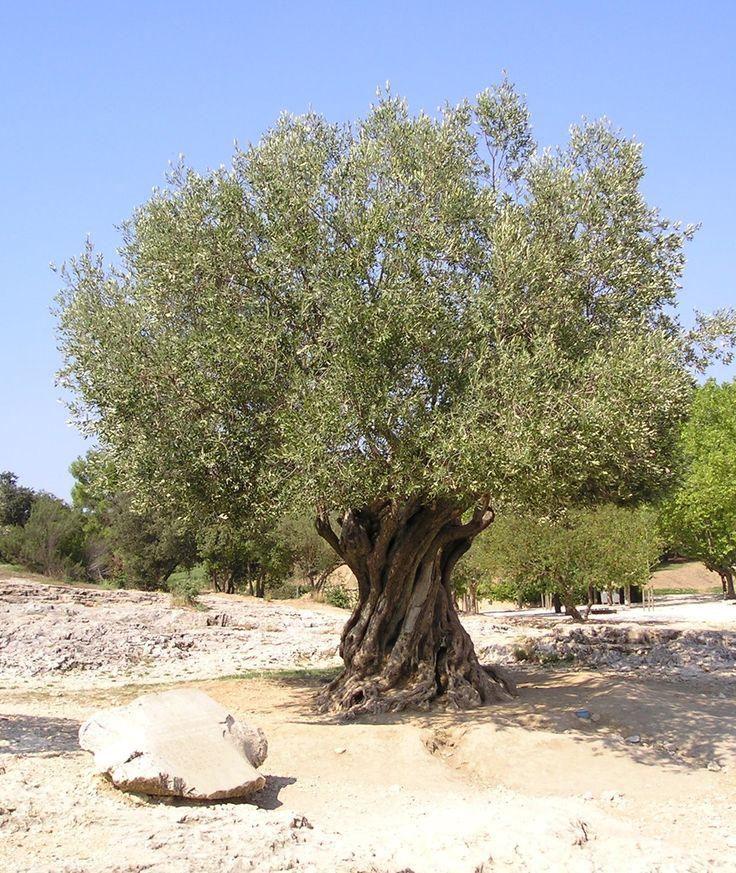 Olive Tree, they can live for hundreds...thousand years.