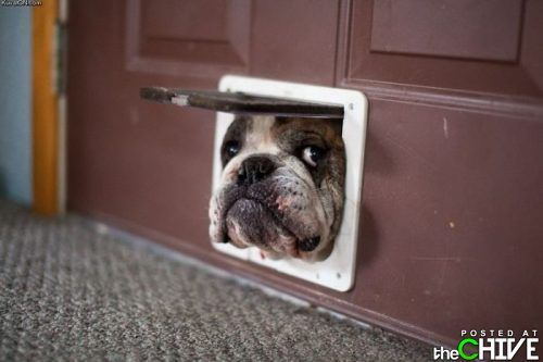 What up!: The Doors, Cat, Funny Dogs, Pet, English Bulldogs, Puppy, Peekaboo, Peek A Boo, Animal
