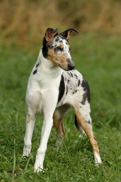 Sindy, the stunner by *SaNNaS  Smooth Collie