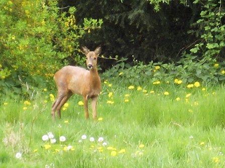 Deer in the garden, Æblegaarden B&B, Langeland, Denmark, www.aeblegaarden.dk