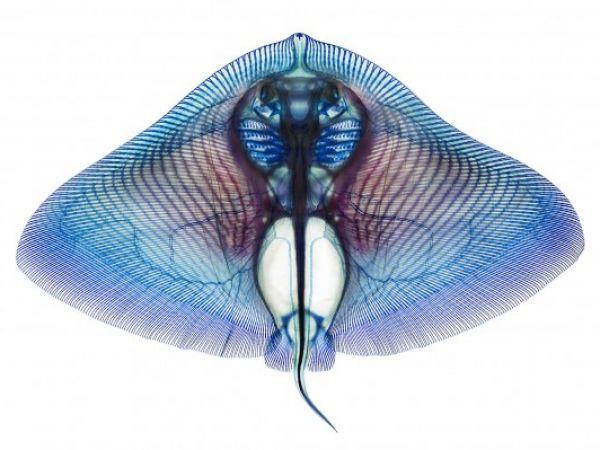 Gymnura crebripunctata