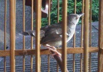 Suara Ciblek Betina – Salah satu jenis burung dari keluarga Cisticolidae ini mempunyai perawakan mungil dan lucu. Namun Ciblek atau Prenjak tidak hanya disukai dari sisi itu saja, melainkan memang mempunyai bagian yang cukup jempolan dari segi suaranya. Layaknya berbagai jenis unggas pengicau papan lainnya, jenis spesies yang bernama latin (ilmiah)Prinia familiaris ini juga mempunyai …