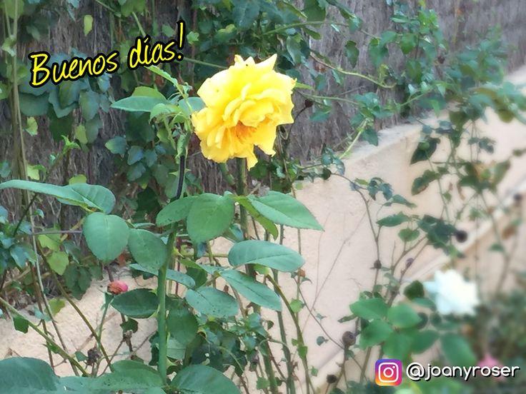 """💬 """"Sólo hace falta una persona para cambiar tu vida: tú"""" 💬 🌞 Buenos días! Feliz Domingo Instagramers! . #goodmorning #saunday #domingo #sun #setiembre #september #familia #frases #landscape #garden #jardin #rosas #rosal #flores #flower #rose #yelow #instaflower #instaflowers"""