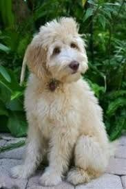 Image result for mastidoodle   – Animals