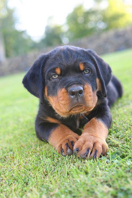 Green eyed Rottweiler puppy.