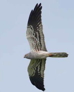 Grauwe kiekendief  Van deze sierlijke akkerjager is vooral het mannetje gemakkelijk herkenbaar aan het blauwgrijze verenkleed met zwarte vleugelstrepen en lichtjes gestreepte buik.