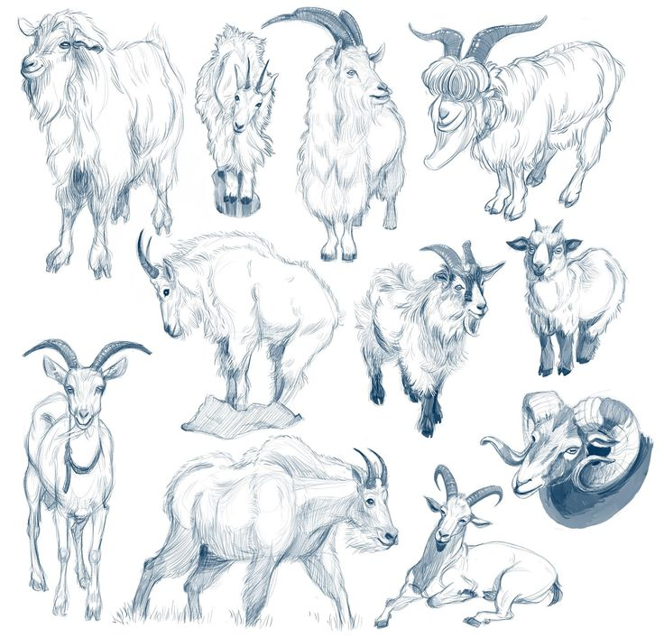 Rough sketches; mountain goats, all the different angles are great for different referencing