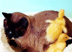 Cat GIFs Duckling Invasion