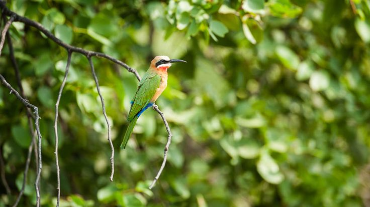 Bee-eater, South Africa