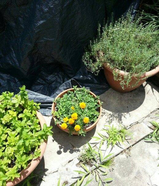 Marigolds, mint and thyme
