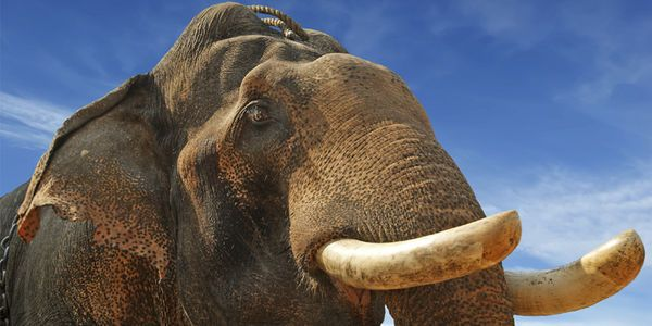 Urge the Indian Forest Department to Take Action on Elephant Torture!