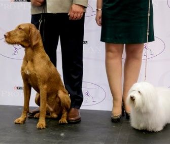 The Wirehaired Vizsla and Coton de Tulear will be eligible to compete at the Westminster Dog Show in 2015.