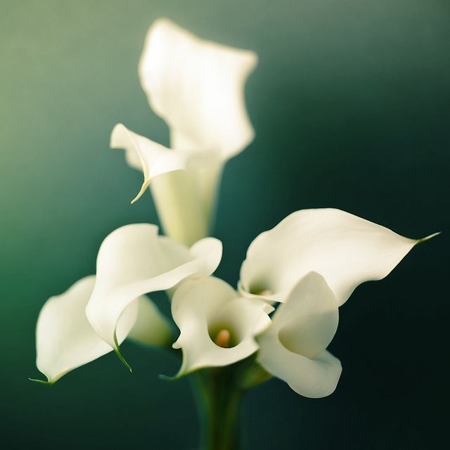 Calla lilly meaning magnificent beauty it is a for Calla lily flower meaning