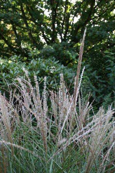 Prachtriet (Miscanthus sinensis 'Kleine Silberspinne') - prachtriet