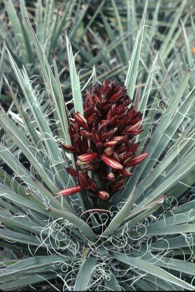 'Hualampai Blue' yucca (Yucca baccata var. vespertina 'Hualampai Blue'), from Cistus Nursery.