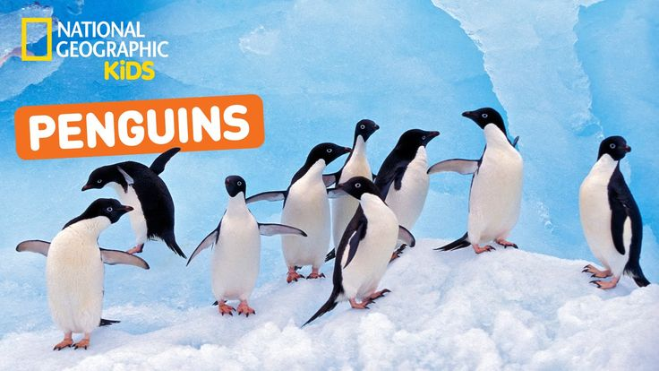 Discover the very best penguin videos YouTube has to offer - brought to you by National Geographic Kids! ➡ Subscribe for more National Geographic Kids videos...